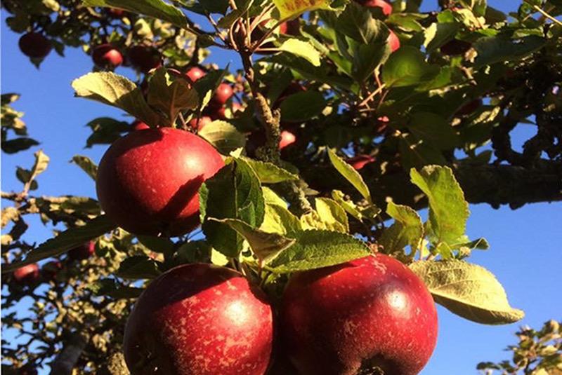 Trädbeskärning, fruktträd, buskar och rosor